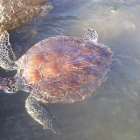El avistamiento de tortugas marinas en Uruguay
