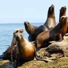 Las colonias de lobos marinos